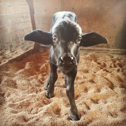 McClintocks-Farm-Baby-Buffalo