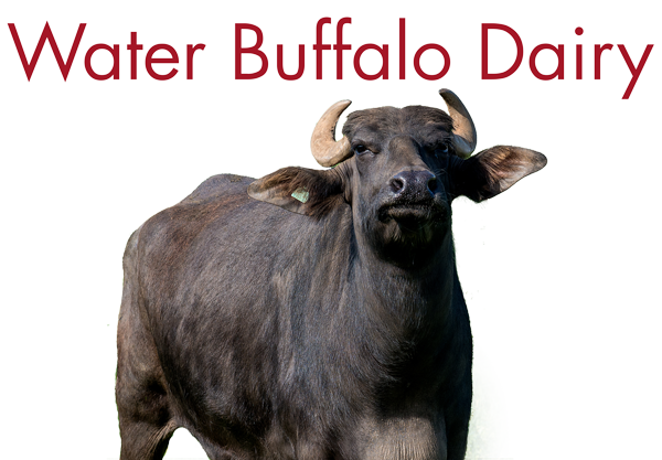 Water Buffalo Dairy